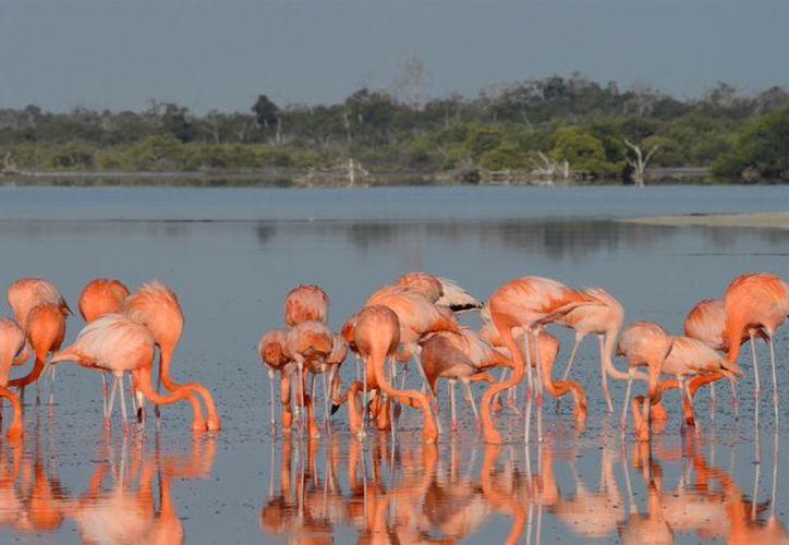 El ANP Ría Lagartos, cuenta con la colonia reproductiva más importante de esta ave en México. (SIPSE)