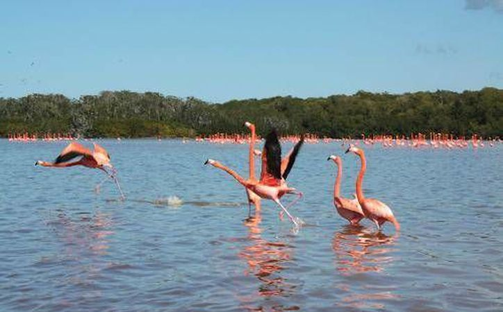 Los flamencos rosados son emblemáticos de Celestún y de Yucatán. (SIPSE)