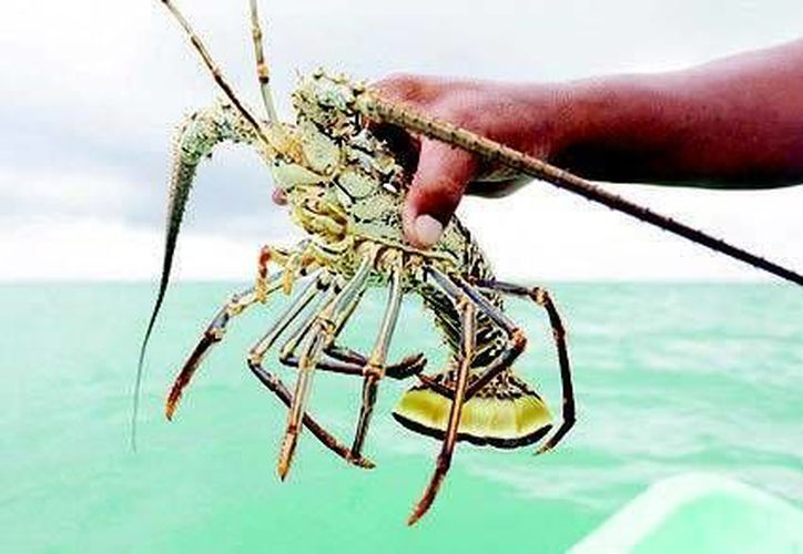 Algunos pescadores, hacen caso omiso de la veda de langosta y continúan atrapando a los crustáceos. (Sergio Orozco/SIPSE)