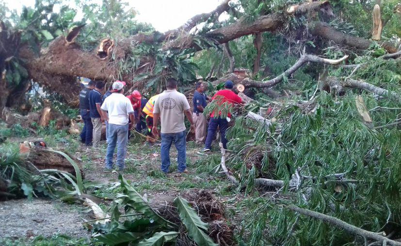 Ecologistas detallaron que la caída del árbol se debió a una enfermedad u hongo que deterioró su interior. (Jesús Caamal/SIPSE)