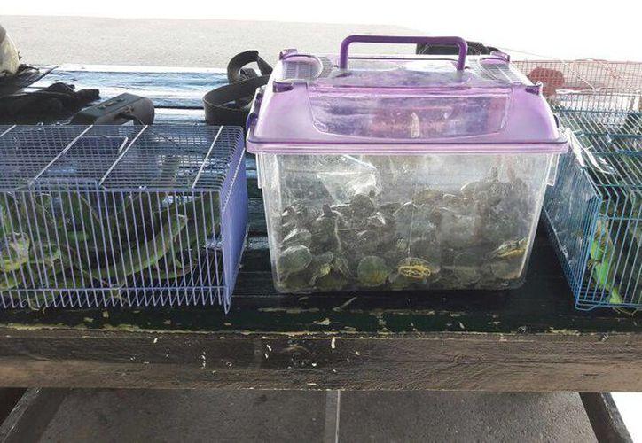 Imagen de las tortugas japonesas y 60 iguanas verdes que fueron decomisadas en un autobús de pasajeros en Aguascalientes. (@PROFEPA)