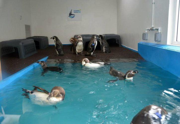 Los pingüinos llegaron al puerto de Veracruz el pasado 10 de junio. (Notimex)
