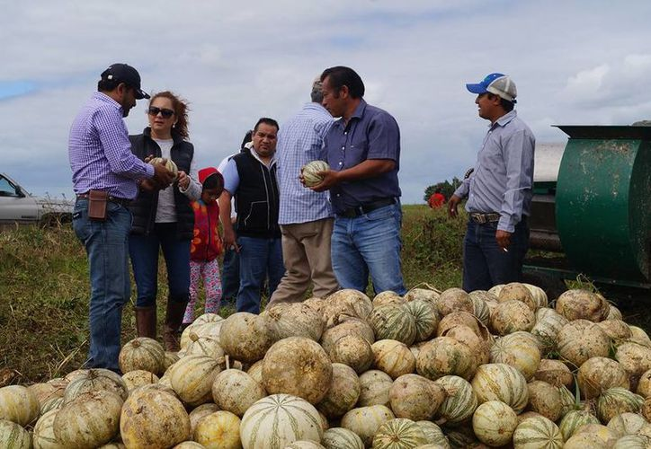 La siembra de calabaza chihua se ha convertido en una verdadera opción de cultivo alternativo para los productores. (Javier Ortiz/SIPSE)