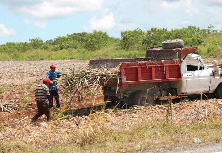 La ampliación de la superficie de siembra rebasó las expectativas en cuanto a volumen de caña y de área de cosecha. (Edgardo Rodríguez/SIPSE)
