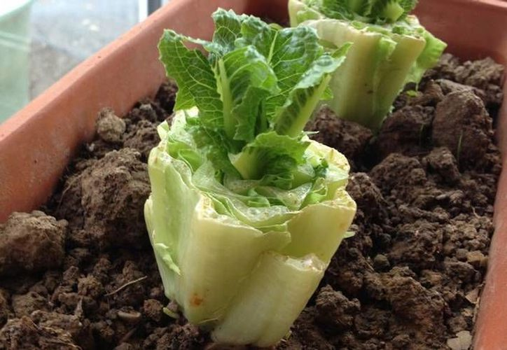 Puedes hacer crecer nuevas hojas con el tallo intacto de una lechuga romana en sólo un par de semanas. (Contexto/Internet)