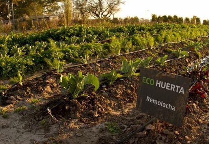Éste proyecto contempla dos tipos de cultivo: a cielo abierto y dentro de viveros (Foto: Infobae)