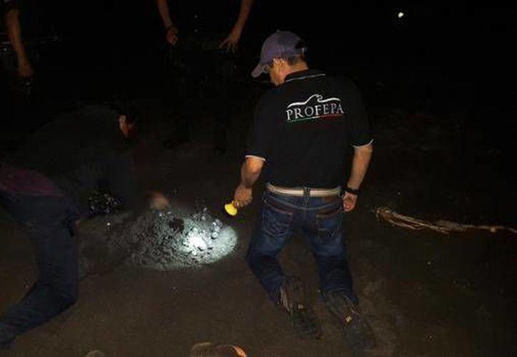 La dependencia federal informó que en esta temporada se ha registrado la llegada de ocho mil 474 ejemplares de tortuga Golfina, por lo cual se han implementado amplios recorridos en la playa de Morro Ayuta. (@PROFEPA_Mx)