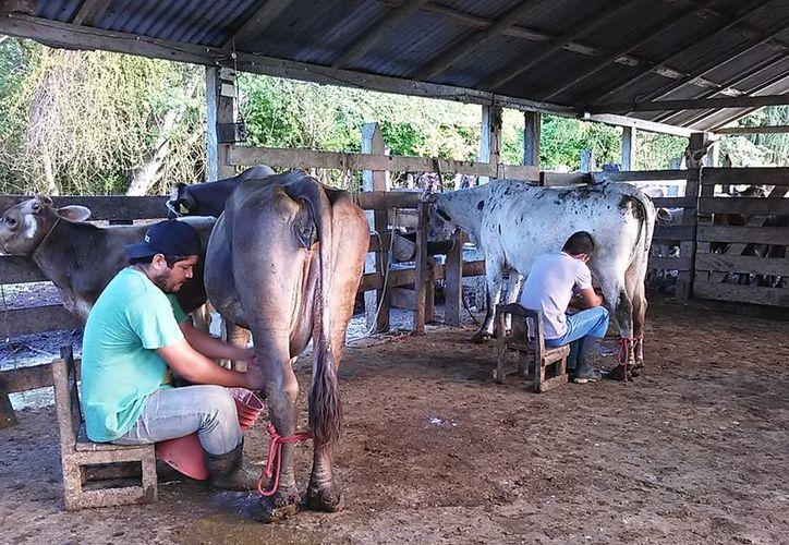 El 40% restante de leche, se lo dan a beber a los becerros, porque no pueden transportarlo a otros mercados. (Javier Ortiz/SIPSE)