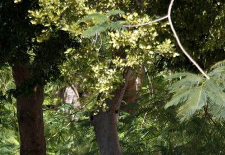 Garantizar la sobrevivencia de los árboles en el centro de la ciudad. (Francisco Gálvez/SIPSE)