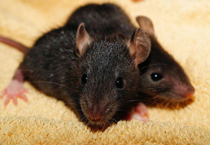 Al menos seis niños fueron llevados a un hospital en Miami por mordeduras de ratas. (Contexto/Internet)