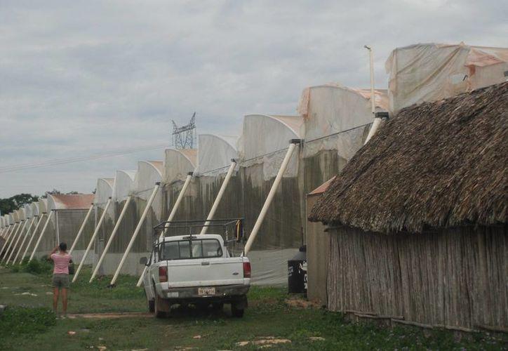 La malla que cubre la nave del invernadero no tiene la capacidad para retener el aire. (Carlos Yabur/SIPSE)