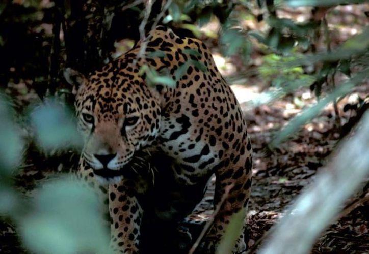 Si alguna especie empieza a perderse, los primeros en sufrir son los depredadores tope como jaguares, pumas, lobos y ocelotes. (Pixinio)