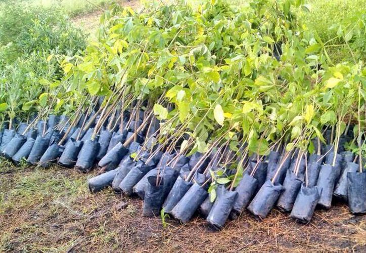 Las plantas que se entregan son de caoba, cedro y roble, entre otros,  para evitar afectaciones de plagas en las reforestaciones. (Milenio Novedades)