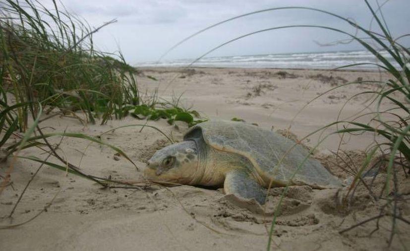 De marzo a noviembre realizaran los recorridos de protección, traslado de nidos y liberación de las crías. (Contexto/Internet)