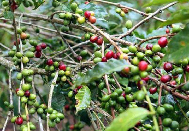 Productores chiapanecos ya vendieron la producción de café para el próximo año, y esperan que eso ayude a fortalecer su presencia en el mercado mundial. (Archivo/Notimex)