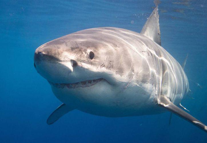 La expedición científica Alnitak 2018 ha documentado y filmado durante 70 minutos la presencia de un gran tiburón blanco de cinco metros de longitud. (Foto: Contexto)