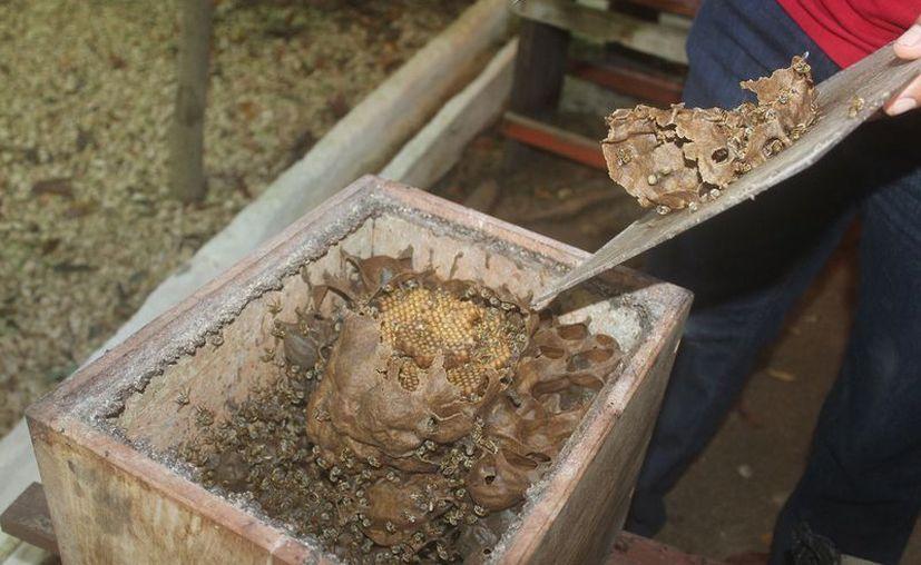 La Fundación Melipona Maya trabaja en planes de reproducción de colmenas. (Sara Cauich/SIPSE)