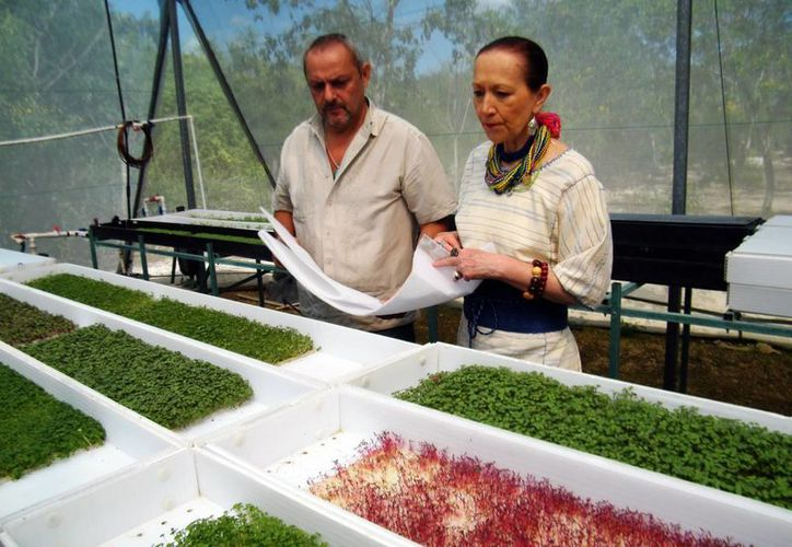 El Estado tiene el único productor de germinados microgreen. (Cecilia Ricárdez/SIPSE)