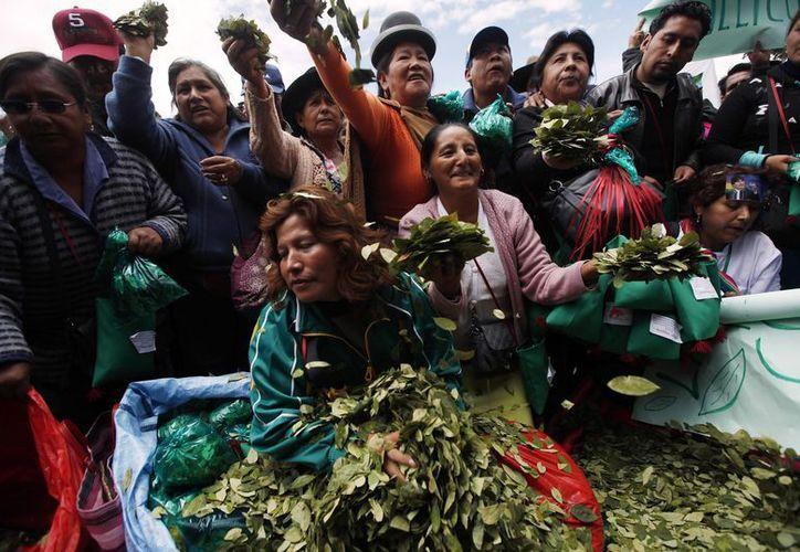 Bolivia cuenta hoy con 27 mil 200 hectáreas de coca, según la ONU. (Agencias)