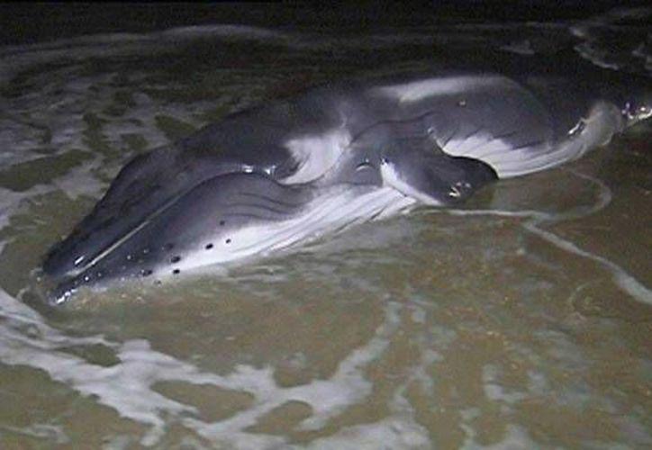 La cría de una ballena gris  fue encontrada en Laguna Guerrero Negro, municipio de Mulegé. (Foto de contexto imagenpoblana.com)