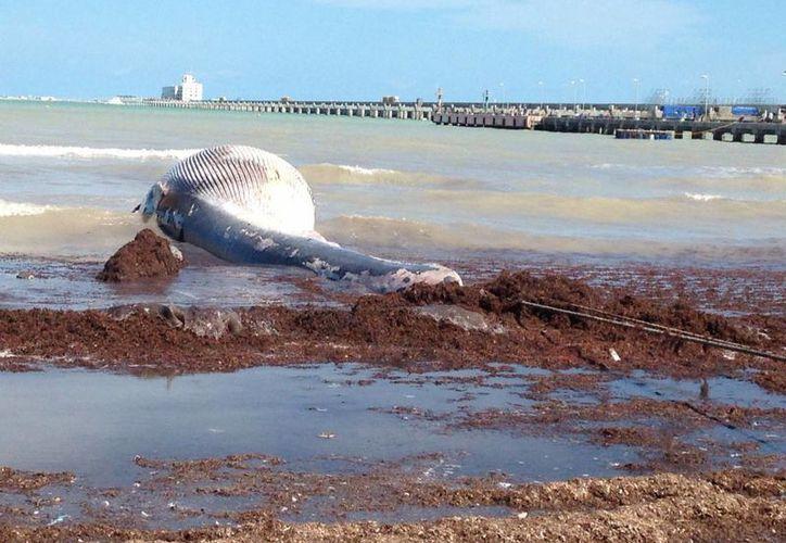 Una ballena recaló en aguas de Progreso. Podría tratarse del primer varamiento de una ballena en la historia moderna de Yucatán. (Fotos: Gerardo Keb/Milenio Novedades)