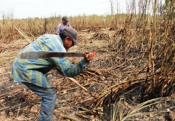 En cada zafra de la ribera del Rio Hondo laboran alrededor de dos mil 500 cortadores de caña de azúcar. (Edgardo Rodríguez/SIPSE)