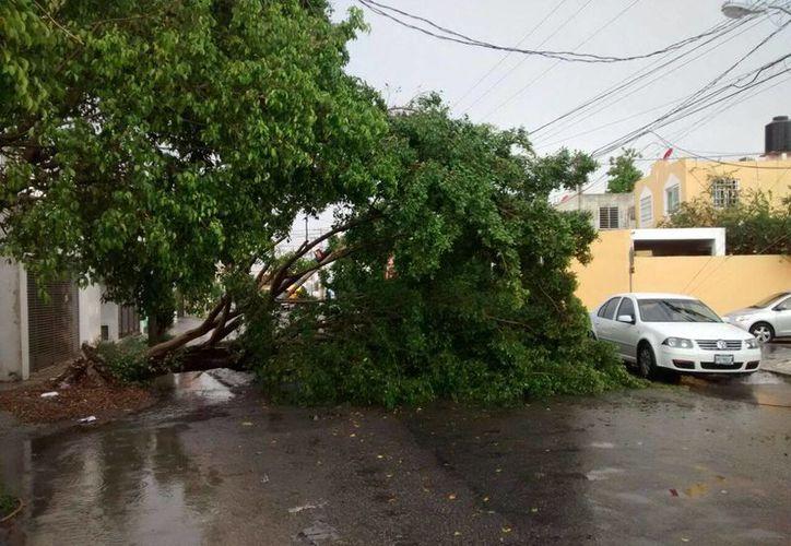 El fuerte viento derribó varios árboles en Mérida, en el marco de un clima muy lluvioso en todo Yucatán. (Milenio Novedades)