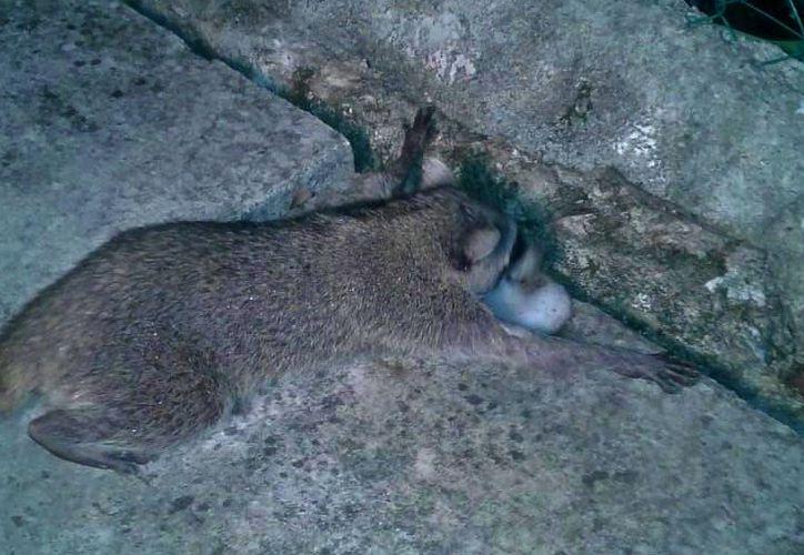 Envenenan a mapache enano. (Foto: Gustavo villegas)