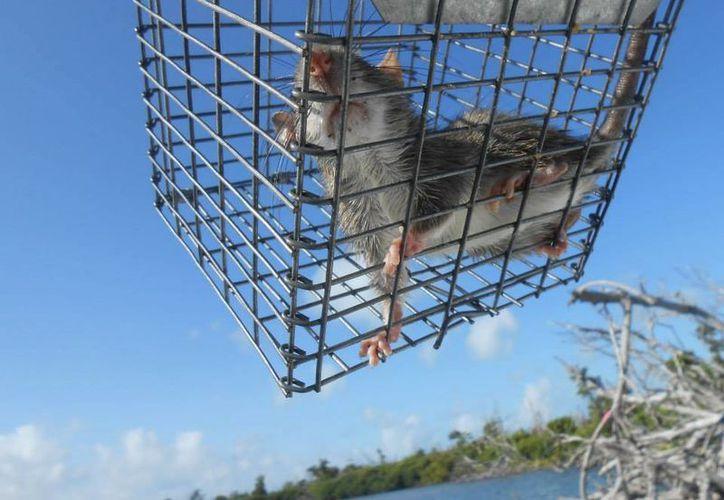 Las ratas negras, especie exótica que ataca Banco Chinchorro, se alimenta de la fauna local y migratoria de la región. (Harold Alcocer/SIPSE)
