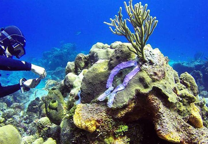 La enfermedad de los corales avanza sin que hasta la fecha se conozcan las causas. (Redacción/SIPSE)