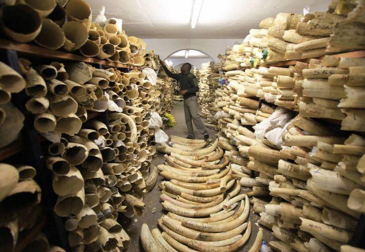 Un funcionario de los Parques Nacionales de Zimbabue inspecciona las existencias de marfil del país en la sede de Parques Nacionales en Harare, Zimbabue. (AP/Tsvangirayi Mukwazh)