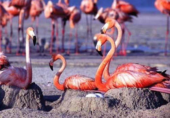 Hay una falsa apariencia de abundancia de flamencos, pero no es así porque sólo tienen una cría por año que tarda de cuatro o cinco años en llegar a la adultez. (SIPSE)