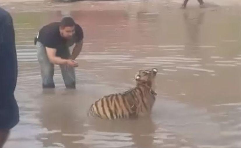 El pánico se apoderó de la gente que observaba al tigre dándose un chapuzón.  (Foto: Captura del video)