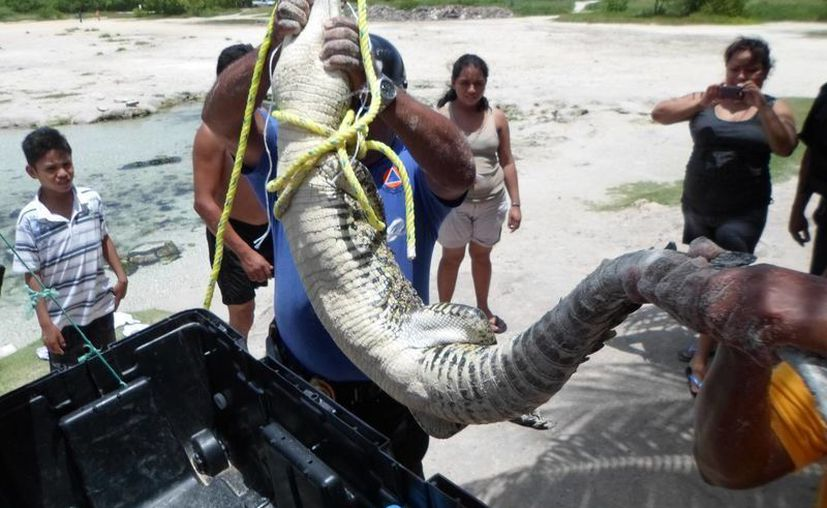 Tres personas sometieron al animal para capturarlo. (Loana Segovia/SIPSE)
