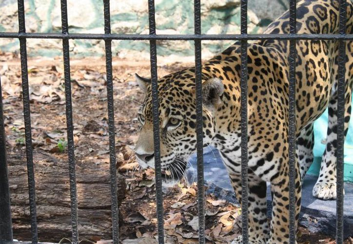 La Ley de Protección y Bienestar Animal garantiza el bienestar de los animales y prohíbe la explotación de los mismos. (Harold Alcocer/SIPSE)