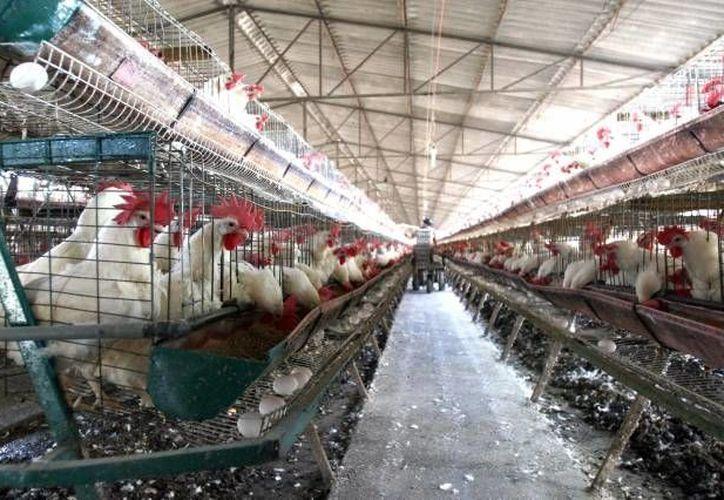 El sector avicultor espera que con la temporada de lluvias la producción se recupere. (Archivo/SIPSE)