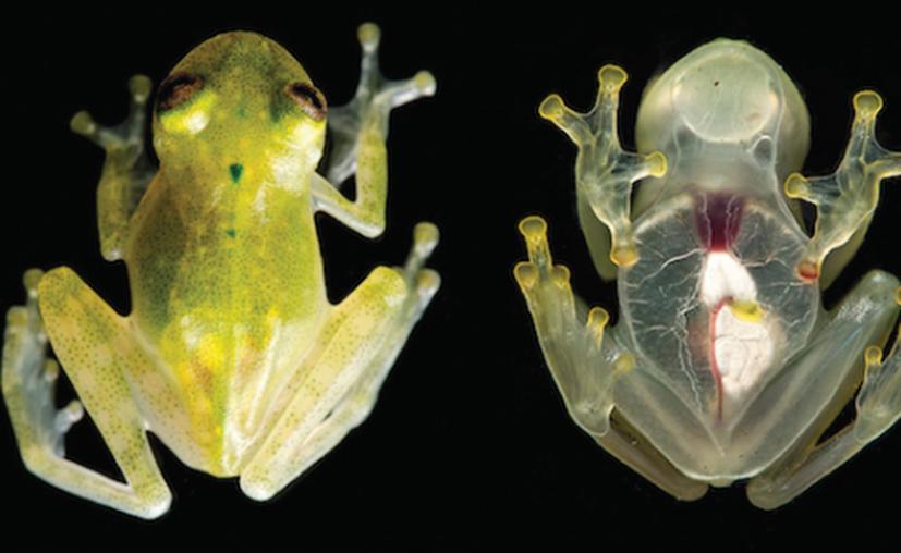 Dos de los sitios donde los científicos encontraron a las ranas estaban muy lejos el uno del otro. (Muy Interesante).