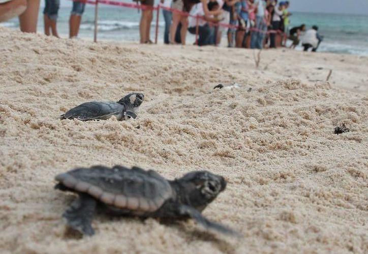 En Cozumel existen tres zonas de anidación de tortugas. (Foto: Contexto/SIPSE)