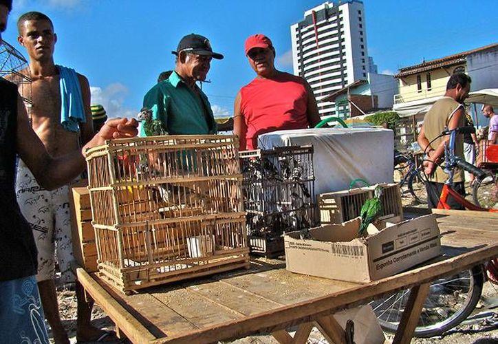Cada año más de 38 millones de animales, sobre todo aves, son retirados de sus habitats y comercializados de forma ilegal en Brasil. Comerciantes venden sin autorización estas especies y otros animales en mercados de  Río de Janeiro, Sao Paulo  y Salvador de Bahía. (Profauna Brasil)
