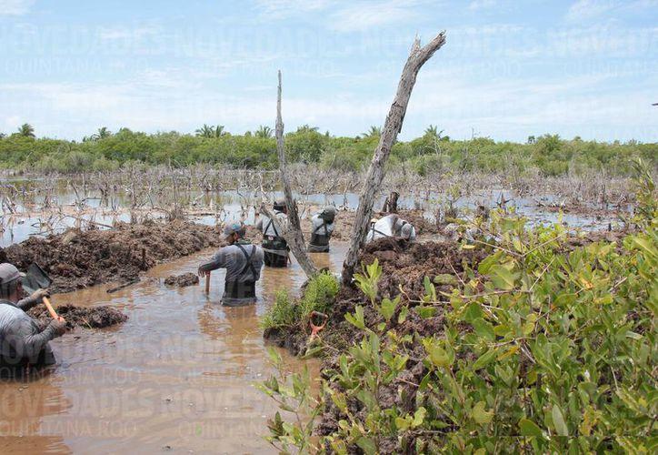 Trabajadores realizan desde muy temprano, labores de rescate de manglar en la Laguna Colombia de Cozumel. (Gustavo Villegas/SIPSE)