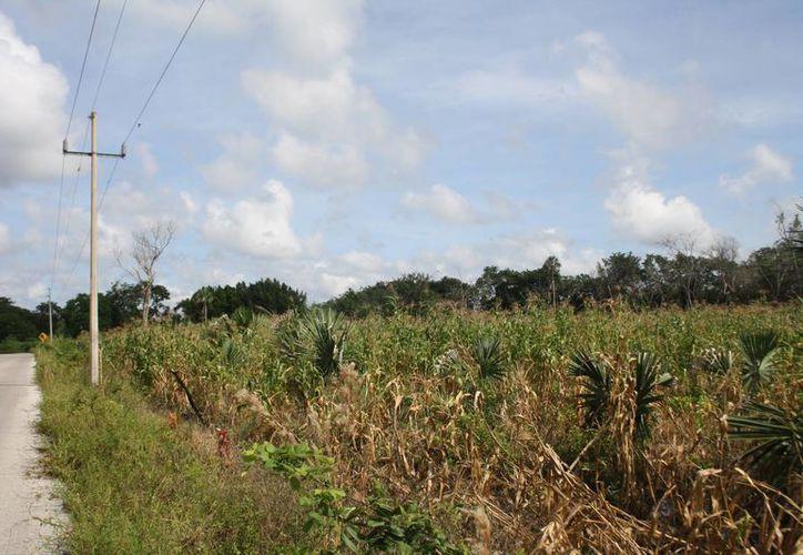 La Confederación Nacional Campesina advierte que muchos productores han optado por migrar a la Riviera Maya en lugar de trabajar sus tierras.  (Rossy López/SIPSE)