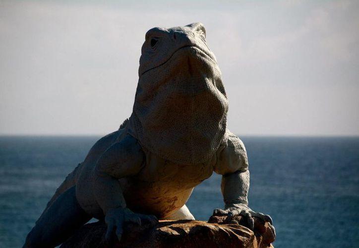 Buscan proporcionar áreas de alimento para las iguanas rayadas.  (Notimex)