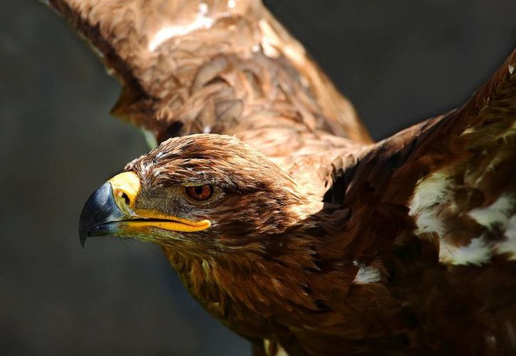 En México se contabilizan solamente 101 ejemplares del águila real. (aquiesqueretaro.com)