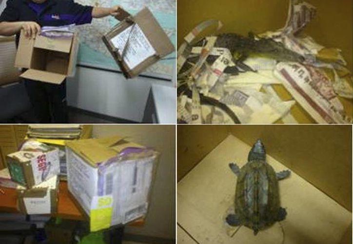Imagen de alguno de los animales decomisados por la Profepa y que se pretendían enviar por paquetería a cuatro Estado. (Fotos de facebook.com/ProfepaOficial)