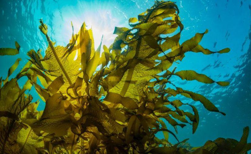 El medicamento está hecho de un compuesto oligosacárido extraído de un tipo especial de algas marinas. (Foto: contexto Internet)