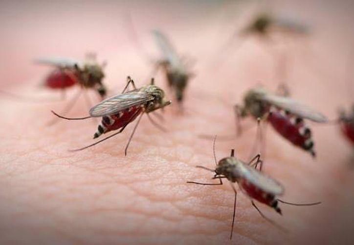 El paludismo es causado por parásitos del género plasmodium que se transmiten al humano por la picadura de mosquitos hembra. (Foto: David De la Fuente / SIPSE)