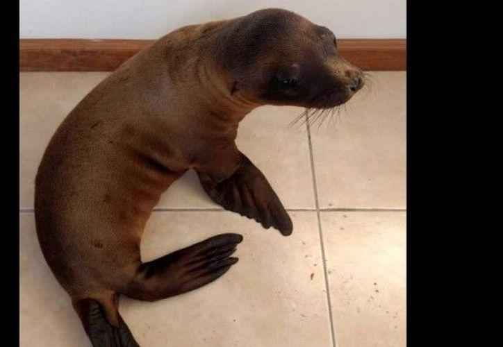 Autoridades ambientales trasladaron al animal al Zoológico de Morelia. (Foto: Excélsior)