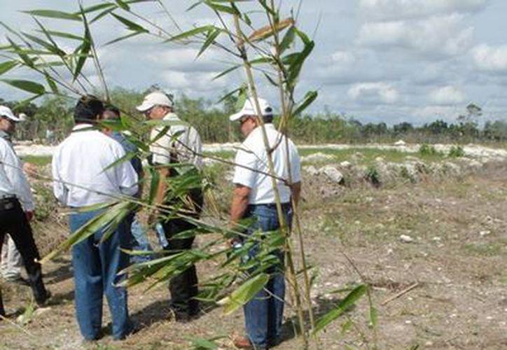 En el mundo existen aproximadamente mil 200 tipos de bambú, de los cuales se están obteniendo diversos recursos maderables e incluso ya se está obteniendo energía por medio de biomasa. (Edgardo Rodríguez/SIPSE)