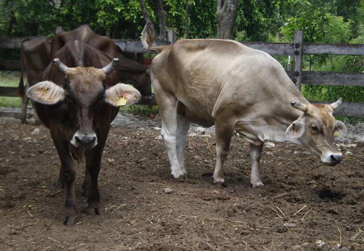 Las lluvias son un aliciente para ganaderos. (Foto: SIPSE)