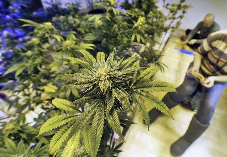 Empleados atienden plantas de marihuana en un centro de cultivo en Denver, Colorado, que tiene el mercado comercial legal más robusto de Estados Unidos. (Agencias)